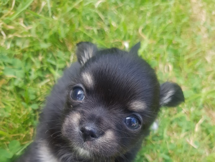 2 pedigree male chihuahua puppies for sale