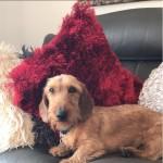 Standard wire haired dachshund stud