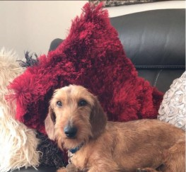 Pets  - Standard wire haired dachshund stud