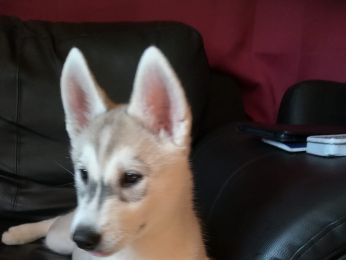 10 weeks old Female Siberian husky £800