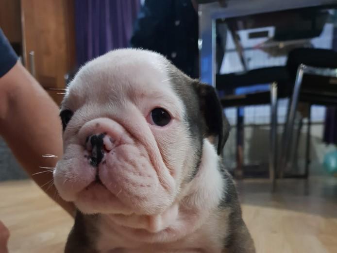 English:British bulldog kc reg tri colour