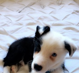 Pets  - Border Collie Puppy