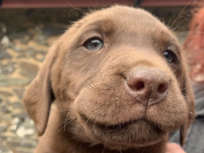 Four KC Registered Chocolate Labradors