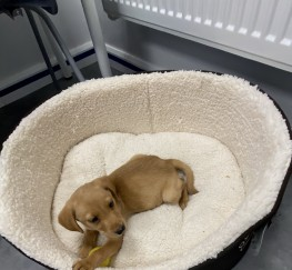 Pets  - Labrador Puppy full breed (accessories included)