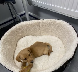 Labrador Puppy full breed (accessories included)