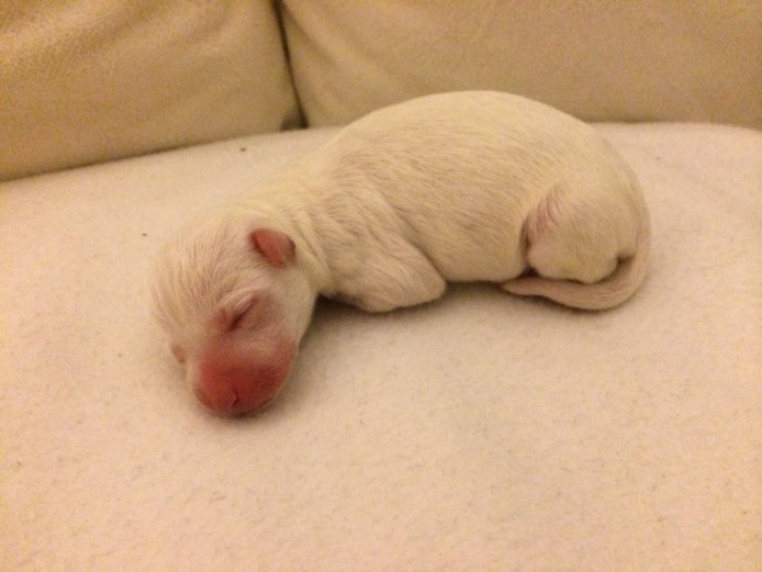 Champion Bloodline italian greyhound puppies RARE COLOURING