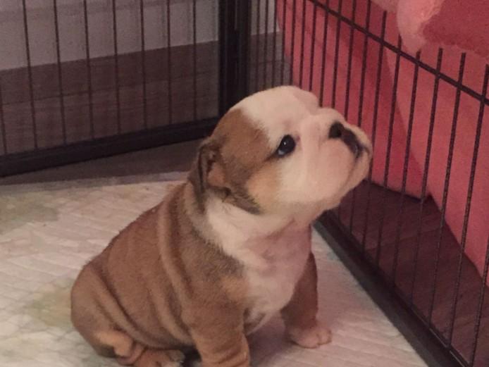 Quality Kc Reg Bulldog Puppies. Top Bloodline