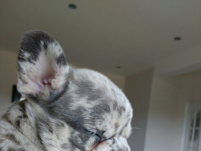 BLUE MERLE TRIPLE CARRIER PUPPIES