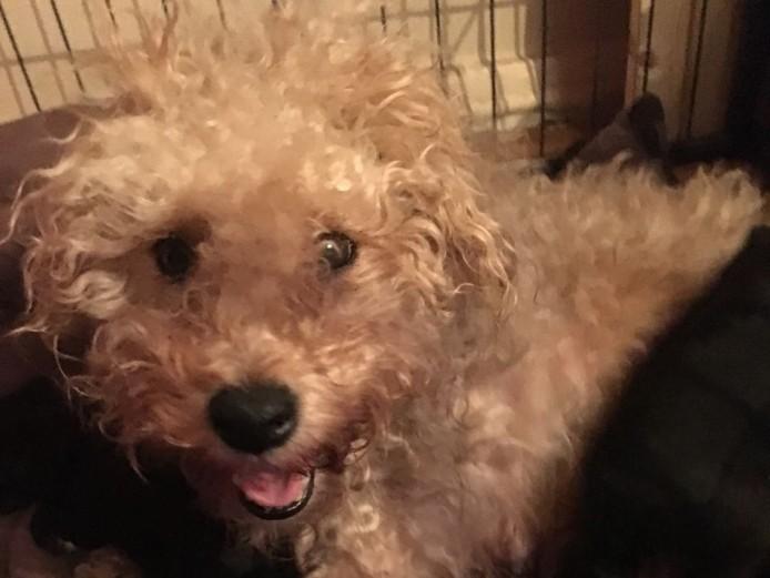 Bedlington Terriers Cross Puppies For Sale