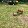 Pets  - American Cocker Spaniel Puppies