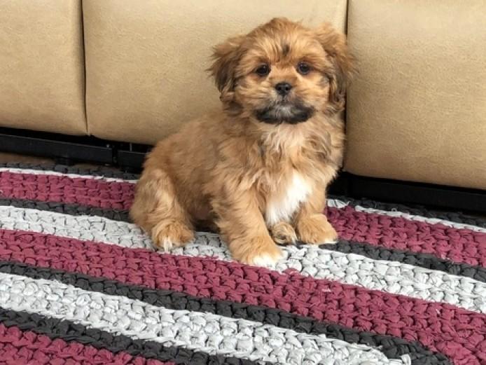 6 Pure Breed Pedigree Lhasa Apso Puppies