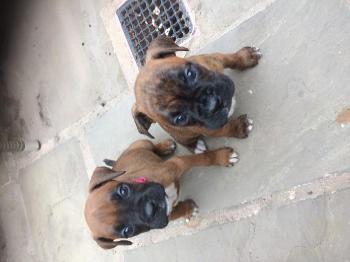 Boxer puppies for sale kc reg