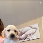 Stunning labrador puppys