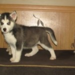 Exquisite Siberian Husky Puppies
