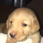 LABRADOR PUPS FOR SALE