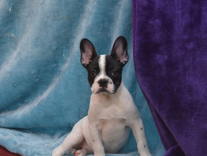 Frug Puppies for sale