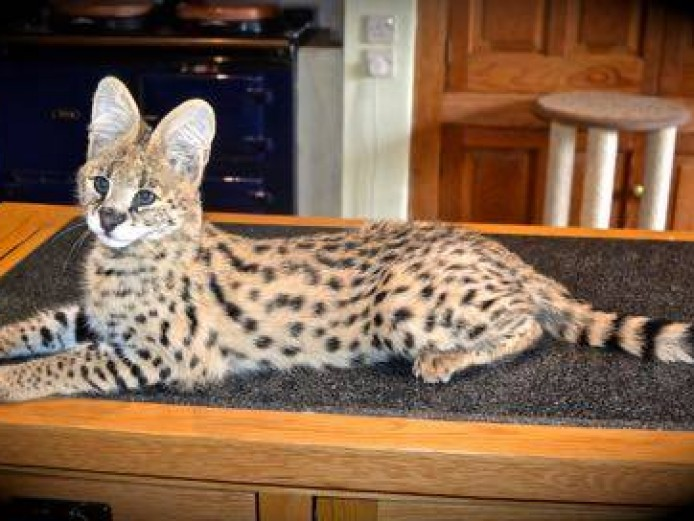 Serval Kittens Available
