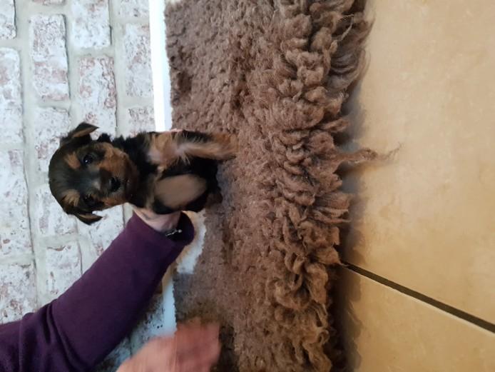 Yorkshire terrier pups