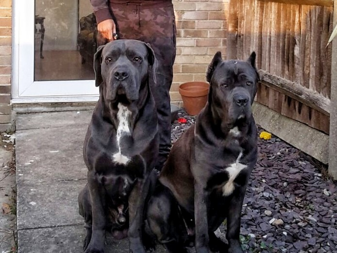 Blue cane corso pups for sale ( Italian bullmastiff )