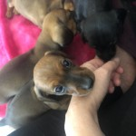 Kc reg miniature smooth coat dachshund