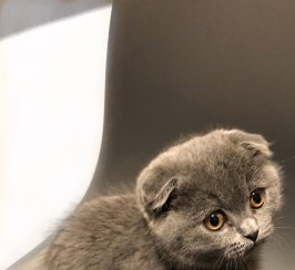 Male Blue Scottish Fold Kitten