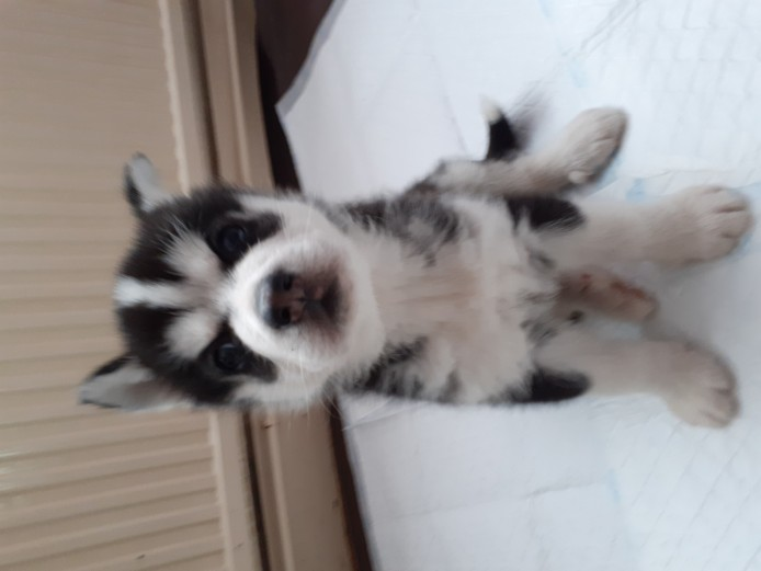 Siberian husky puppies for reservation