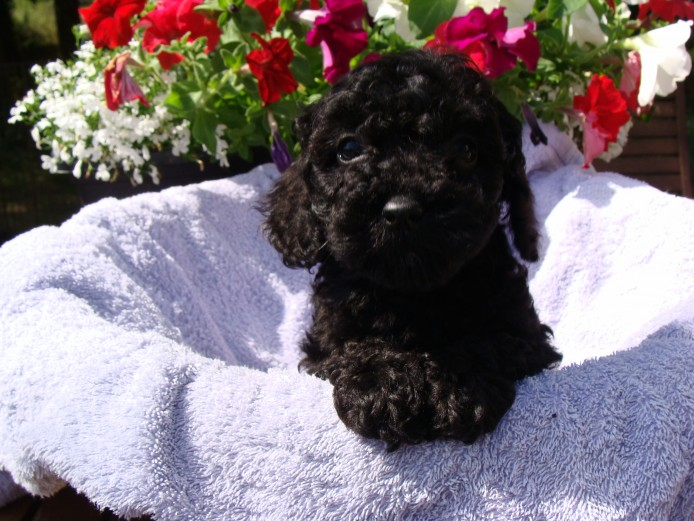 Pedigree Miniature Poodle Puppies