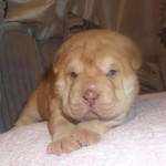 Shar pei pups for sale