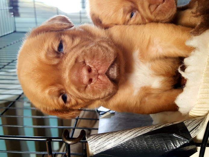 Kc registered Dogue de Bordeaux puppies for sale