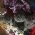 Beautiful PEDIGREE GCCF registered British Shorthair kittens