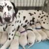 Pets for Sale - Kc reg dalmation puppies