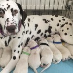 Kc reg dalmation puppies