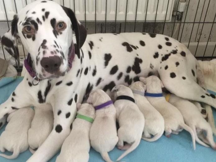 Kc reg dalmation puppies