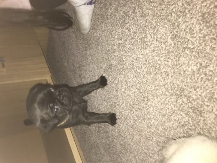 7/8th pug puppies