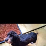 Standard wired haired daschund kc reg