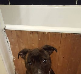 female 10 month old staffy