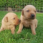 FOX RED LABRADOR PUPPIES K.C REG