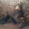 Pets  - kc reg Harleys last crimsion baby, Destinys litter