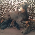 kc reg Harleys last crimsion baby, Destinys litter