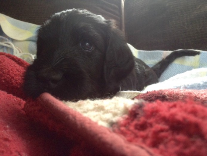 Black Goldendoodle Girl Puppy!