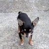 Pets for Sale - Stunning Chi male