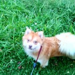 Ginger Pomeranian (male) for sale