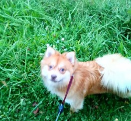 Pets  - Ginger Pomeranian (male) for sale