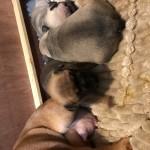 Kc Reg Frenchie fur babies