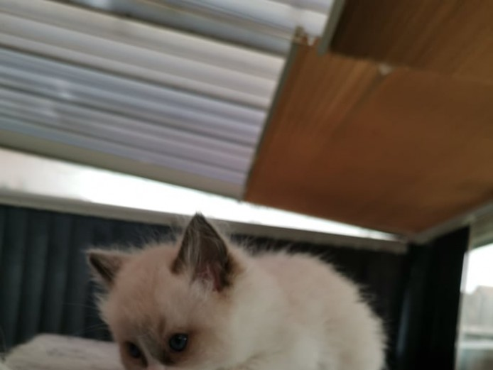 Ragadoll Kittens for Sale
