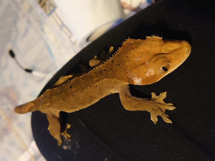 4 Rescue crested geckos