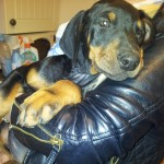 Big Dobermann Puppies