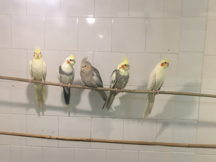 QUALITY Baby Cockatiel For Sale