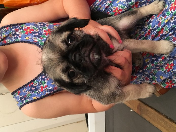 Adorable pug x puppies for sale