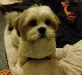 2 Lhasa Apso Puppies For Sale